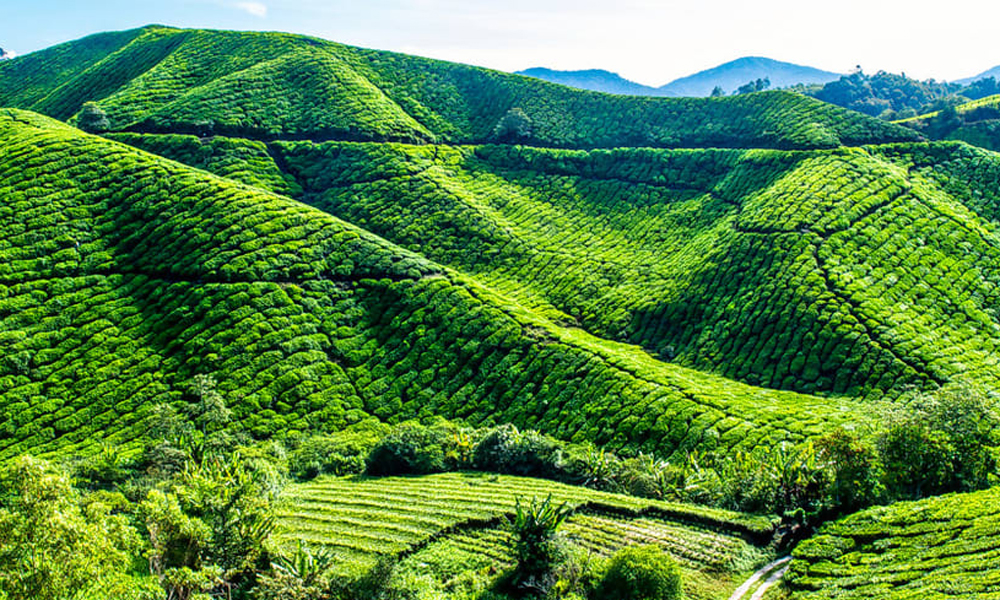 kurangani.thekkady,Thekkady Tea Estate The area blessed with verdant locales is often touted as the tourists' paradise in 'God's Own Country.' The sliver of heaven has the Periyar Wildlife Sanctuary a-RENGHA HOLIDAYS