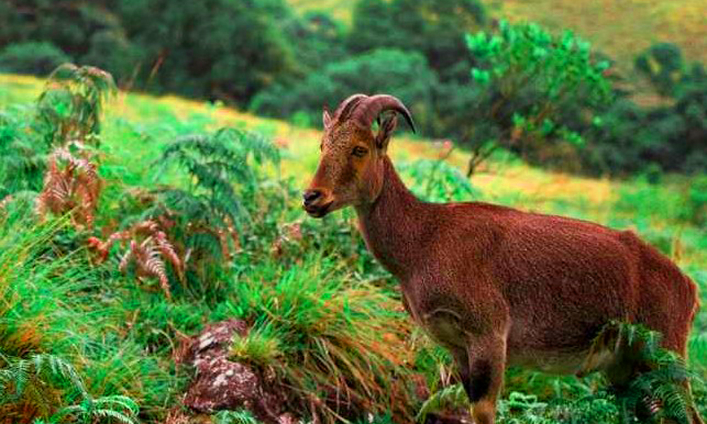 Kurangani ,MUNNAR  the Eravikulam National Elephant, Nilgiri langur, Nilgiri marten, Atlas moth (largest in the world), lion-tailed macaque, small-clawed otter and a rare tiger or leopard are some of -RENGHA HOLIDAYS