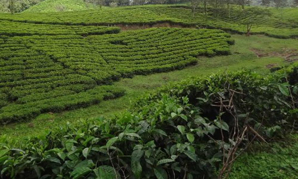 Kurangani,MUNNAR Pallivasal Tea Garden You can see the Sahya mountain range in the backdrop from these gardens too.-RENGHA HOLIDAYS